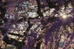 樱花 免版税库存图片