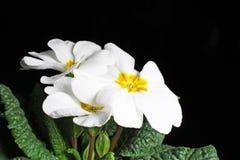 樱草属 开花植物在黑反射性演播室背景的樱草属特写镜头 被隔绝的黑发光的镜子反映了e的背景 库存照片