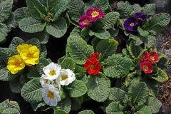 樱草属 报春花 调遣与春天与绿色叶子和水下落的花樱草属 看法从上面花卉样式 装饰品 库存照片