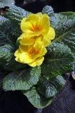 樱草属 报春花 调遣与春天与绿色叶子和水下落的花樱草属 看法从上面花卉样式 装饰品 免版税库存图片