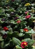 樱草属 报春花 调遣与春天与绿色叶子和水下落的花樱草属 看法从上面花卉样式 装饰品 库存图片
