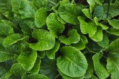 樱草属绿色叶子与雨珠的 顶视图在庭院里 背景蓝色云彩调遣草绿色本质天空空白小束 库存图片