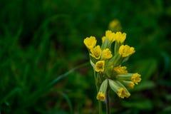 樱草属Veris或Cowslip在庭院里 库存图片