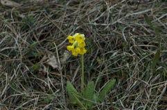 樱草属veris (Cowslip) 共同性在领域和草坪 库存照片