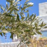橄榄叶子 免版税库存照片