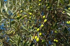 橄榄在普罗旺斯 库存照片
