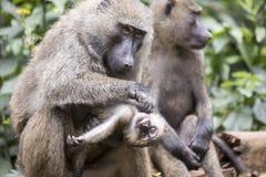 年轻橄榄或共同狒狒修饰 免版税库存照片