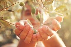 橄榄收获 免版税库存照片