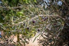 黑橄榄果子成熟在分支 免版税图库摄影