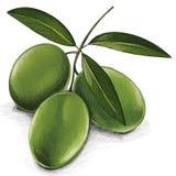 橄榄枝杈收获 免版税库存照片