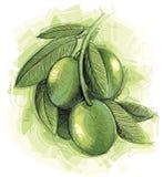 绿橄榄枝杈 免版税图库摄影