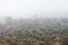 橄榄树之间在雾 库存图片