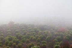 橄榄树之间在雾 免版税图库摄影