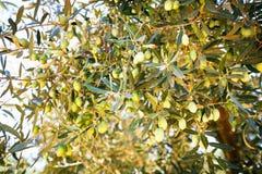 橄榄树关闭uo 库存照片