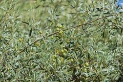橄榄树分支用绿色果子在白天有被弄脏的绿色背景 免版税库存照片