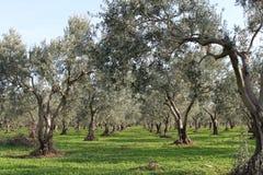 橄榄树和庭院 免版税库存照片