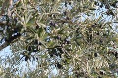 橄榄树和庭院 免版税库存图片