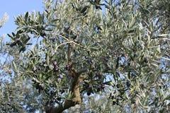 橄榄树和庭院 库存图片