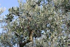 橄榄树和庭院 图库摄影