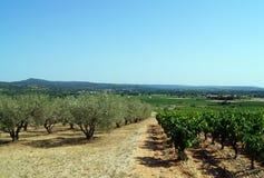 橄榄树和葡萄园树丛  库存图片