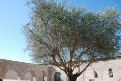橄榄树在古老大厦庭院里 库存照片