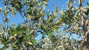 橄榄树在家庭增长的橄榄色的庭院里 股票视频