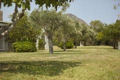 橄榄树在庭院里 库存照片