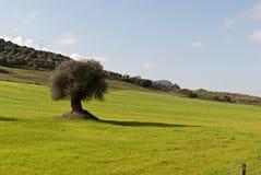 橄榄树在撒丁岛 库存照片