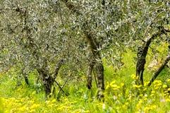 橄榄树在春天 免版税库存图片