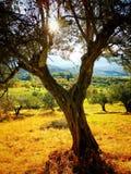 橄榄树在果树园 免版税库存照片