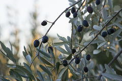 橄榄树在秋天 库存照片