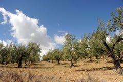 橄榄树在西西里岛 免版税库存照片