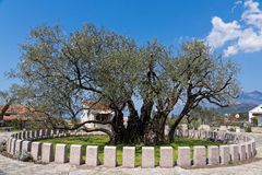 橄榄树在黑山 图库摄影