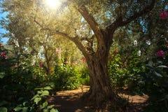 橄榄树在Gethsemane庭院,耶路撒冷里 库存照片