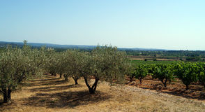 橄榄树小树林和葡萄园 免版税图库摄影