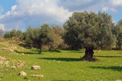 橄榄树小树林在以色列 免版税图库摄影