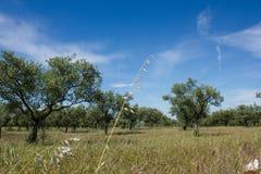 橄榄树小树林在布朗库堡区,葡萄牙 库存图片