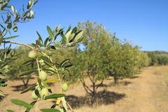 橄榄树小树林在希腊 免版税库存图片