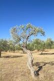 橄榄树小树林在希腊 库存照片