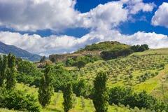 橄榄树小树林在西西里岛 免版税库存图片