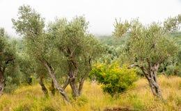 橄榄树小树林在黑山 库存照片