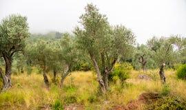橄榄树小树林在黑山 免版税库存图片