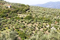 橄榄树小树林用Koroneiki橄榄在伯罗奔尼撒,希腊 库存照片