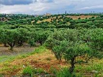 橄榄树小树林,克利特 库存照片