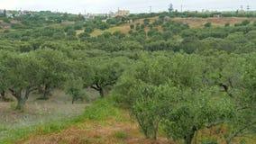橄榄树小树林,克利特 股票视频