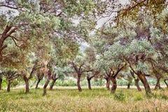 橄榄树小树林,土耳其 免版税库存照片