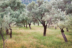 橄榄树小树林,土耳其 图库摄影