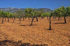 橄榄树小树林,马略卡 免版税图库摄影