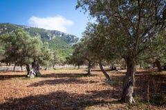 橄榄树小树林1,马略卡,西班牙2014年 图库摄影
