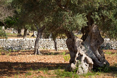 橄榄树小树林3,马略卡,西班牙2014年 库存图片